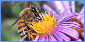 Honey Bee on a wild flower