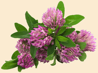 Wild Clover Honey Flowers